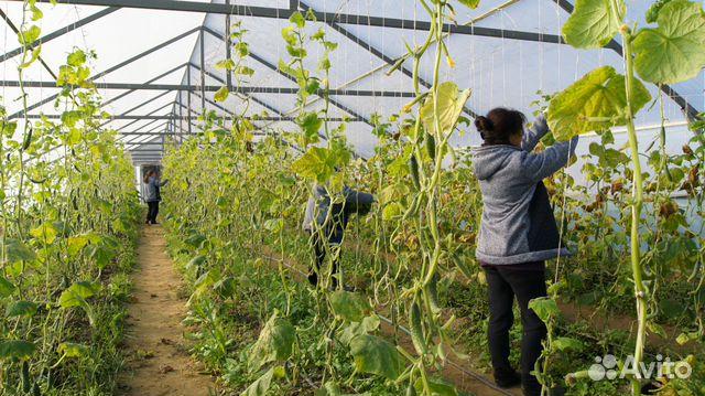 Выращивание овощей в закрытом грунте оквэд 88