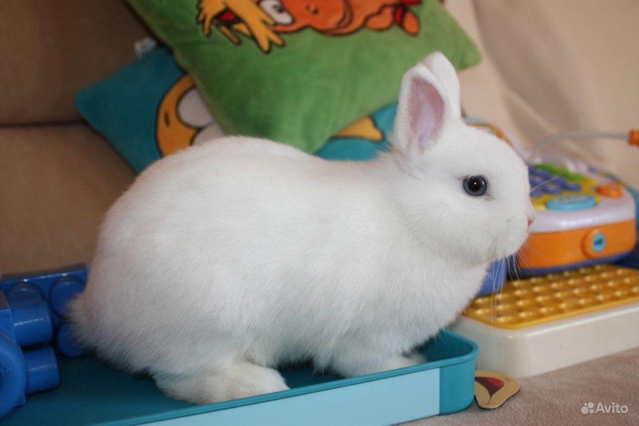 Карликовые декоративные кролики от заводчика в Москве - фотография № 3