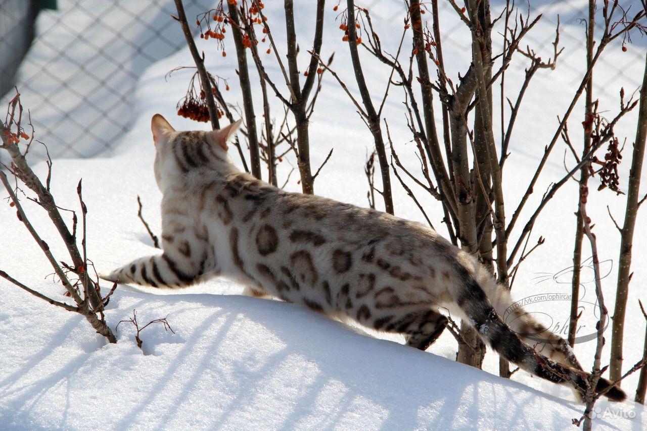 добротная снежные бенгалы фото ангар