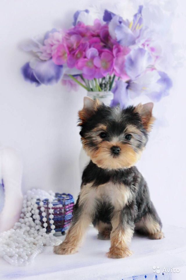 Йоркширский терьер -очень красивые щенки в Иваново - фотография № 6