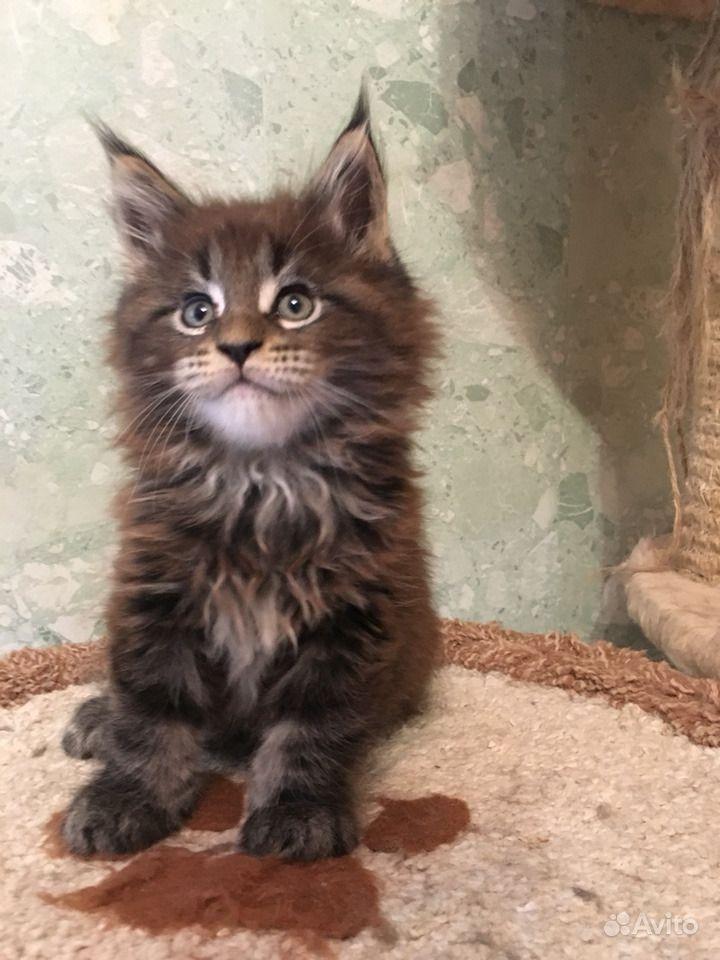 Самые лучшие. Крупные котята Мейн кун в Люберцах - фотография № 3