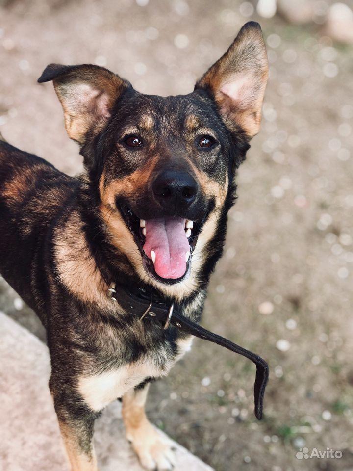 Молодая собака ищет своего человека в Ярославле - фотография № 4