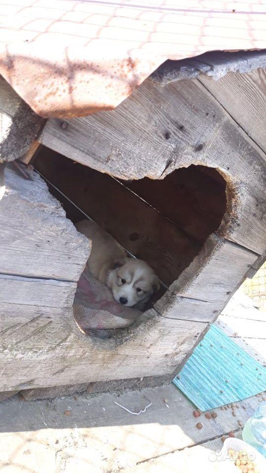 Щенок хаски ищет дом