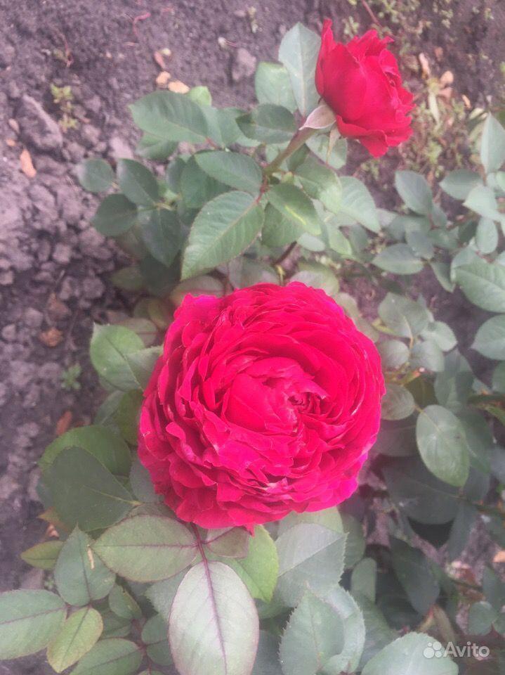 Продажа кустовых роз купить на Зозу.ру - фотография № 4