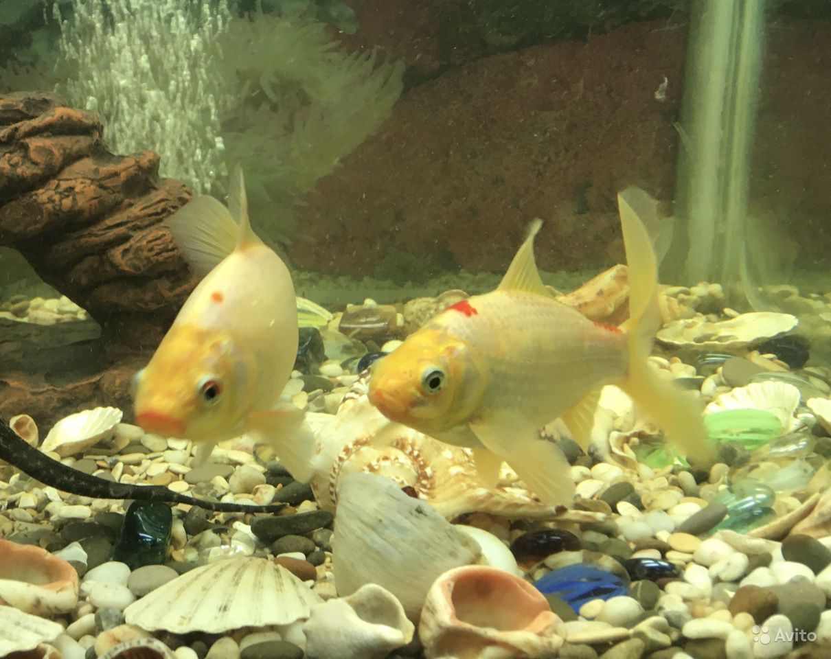 Рыбки Карпы Кои купить на Зозу.ру - фотография № 1