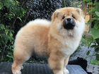 Чау-чау рыжий щенок сука