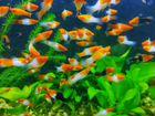 Аквариумные рыбки бесплатно
