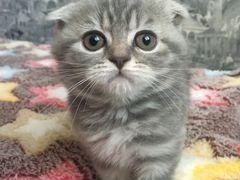 купить шотландского котенка в ставрополе
