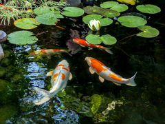 Рыбки Кои