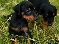 Доберман щенки