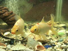 Рыбки Карпы Кои