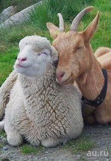 Овцы сукотые и козы дойные