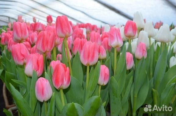 Купить тюльпаны иркутск где купить цветы в алматы