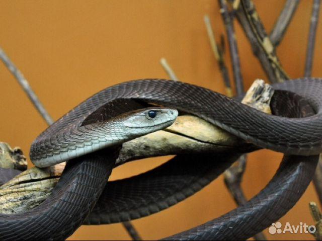 Зеленая мамба фото черная и ядовитая змея