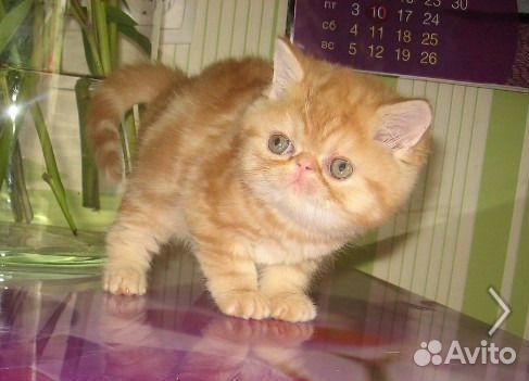 Экзотический котик и кошечка