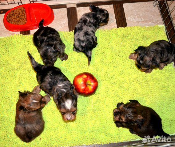 Щенки цветных йорков от 1,5 мес купить на Зозу.ру - фотография № 1
