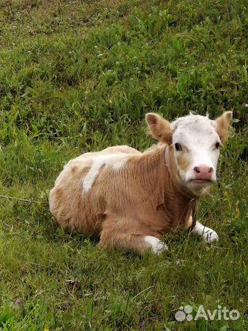 Коровы и телочки