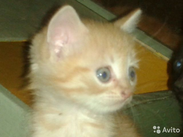 Котята в добрые руки  89649949065 купить 2
