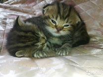 От шотландской кошки