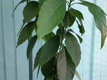Декоративное авокадо