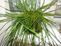 Декоративное комнатное луковичное растение — Растения в Екатеринбурге