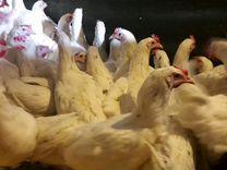 Несушка с яйцом, индюшата,молодка, цыплята