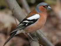 Певчии птицы