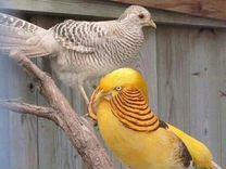Голуби, фазаны лимонные и золотые