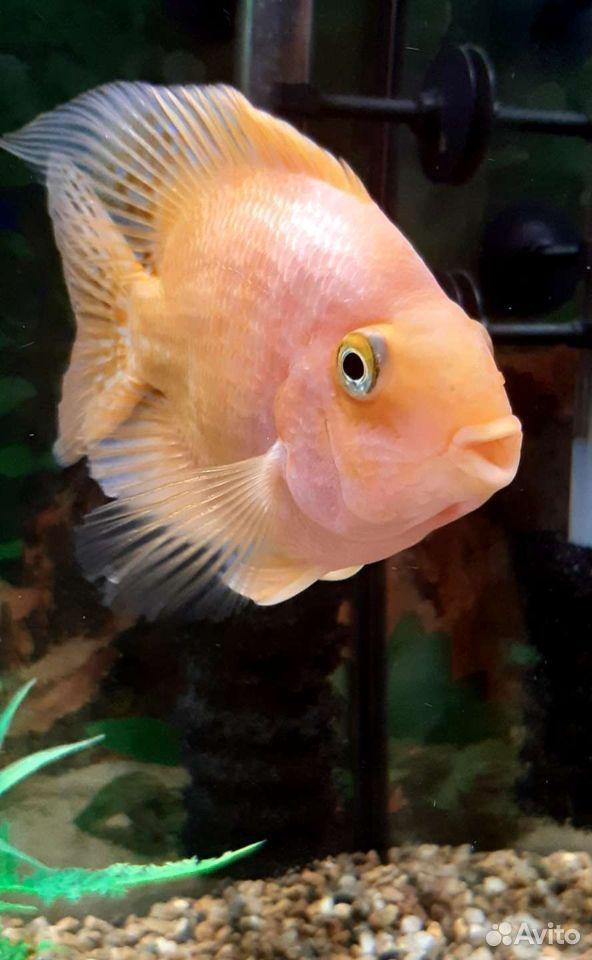 Рыба попугай  89241065400 купить 1