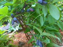 Жимолость съедобная — Растения в Саратове