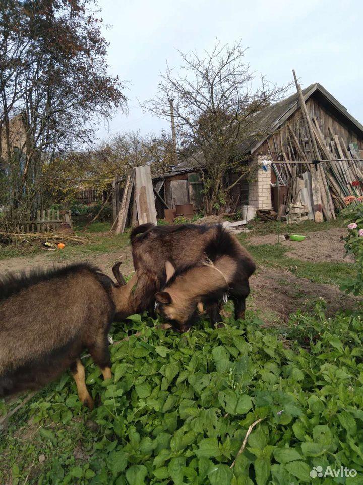 Козы и козлы