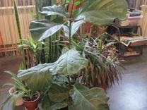 Продам крупные растения пальмы фикусы драцены