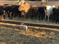 Бараны,овцы,ягнята