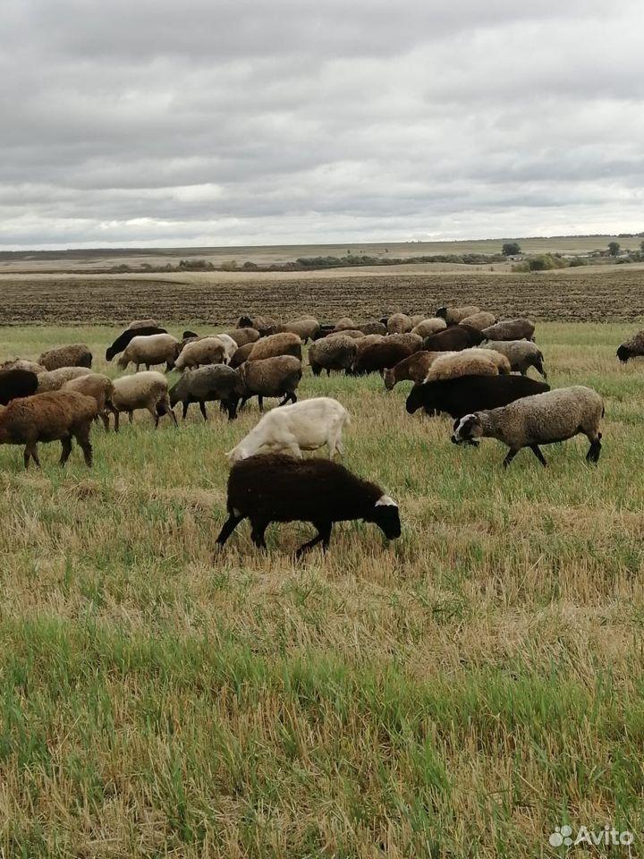 Овцы  89967399220 купить 1