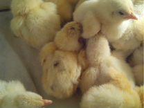 Суточные цыплята бройлеры Иза Хаббард